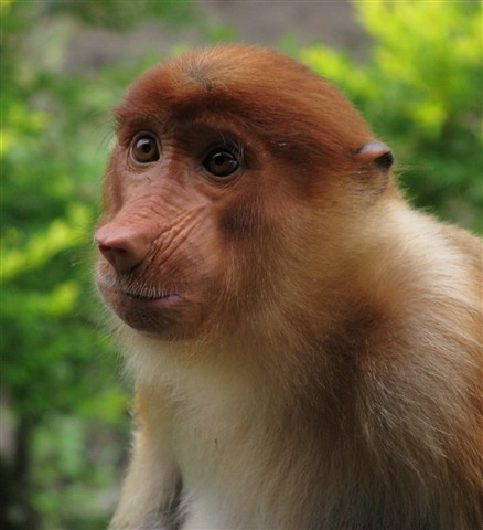 Proboscis monkey female small