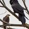 Common Raven-50