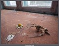 A small bird, probably a Wagtail, found its way into the abandoned house (maybe through broken glass somewhere), but it couldn't find a way back out. So it ended its life there, helplessly pecking on the window, looking out towards freedom, towards light, towards life.