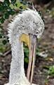 Viennese Stork