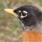 American Robin 2, 100 percent, March 2013