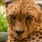 Cheeta-1