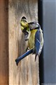 blue tit with baby