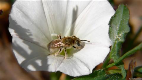 albino bee