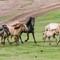 mongolian horses juni 2013