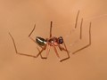 Long-legged tiny cave spider