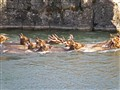 In idaho our elk swim.....