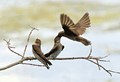 Northern Rough Winged Swallows