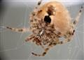August Spider