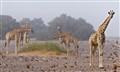 Giraffes in the mist