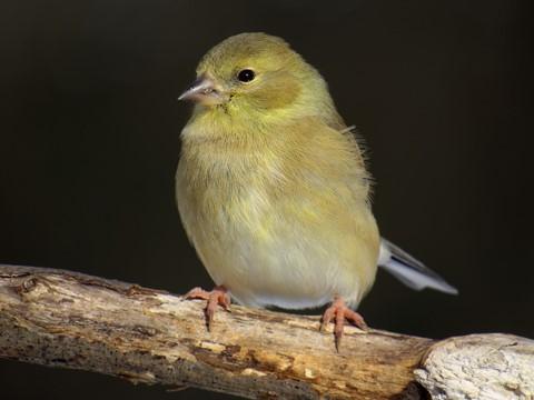 coldgoldfinch