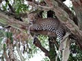 Leopard sits out the morning in a Candelabra Tree