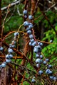Gray Currants