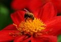 Great Dixter's Garden's bumblebee