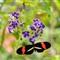 Aruba Butterfly DSC_0087rw