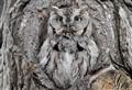 screech owl - calling