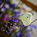 The humble cabbage white