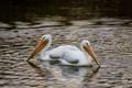 Wht Pelicans-2