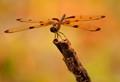 Macro -golden hour-Dragon fly