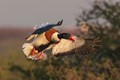 Landing common shelduck