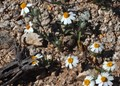 Very small and low-lying wildflowers on the Sonoran desert in Arizona.