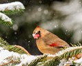 A Frosted Cardinal