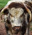 English longhorn