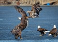 A juvenile bald eagle fights an adult over a fish on the ice.
