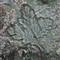 stony leaf