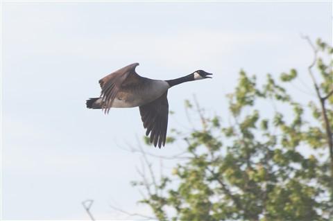 Talking goose