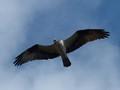 Osprey_MINWR
