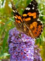 Australian Painted Lady