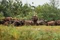 Buffalo in Langkawi