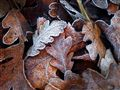Frost on Valley Oak Leaves