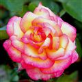 A Rose filled with life