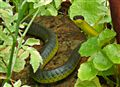 Native grass snake