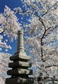 Japanese Stone Pagoda and the Cherry Blossoms