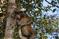 The truth about proboscis monkey, Borneo, Indonesia