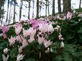 Cyclamen forest