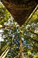Lookin up into the canopy at the the Kauri Glade